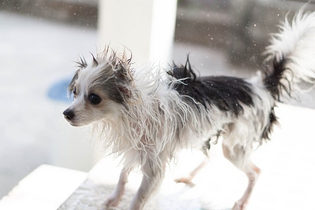Pomeranian shaking water off after a bath