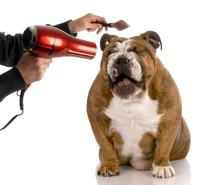 Blow drying a dog after a bath