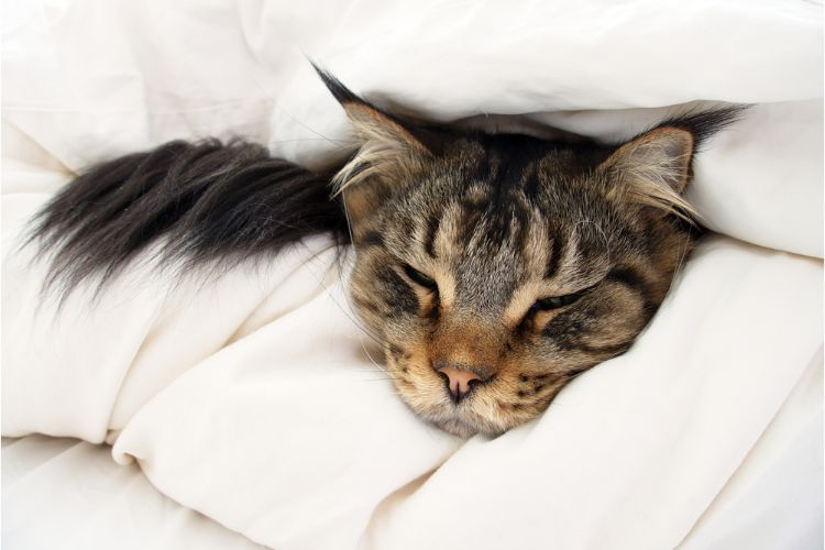 Cat suffering from an upset stomach resting in bed