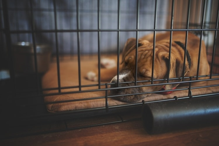 Big dog napping in dog crate