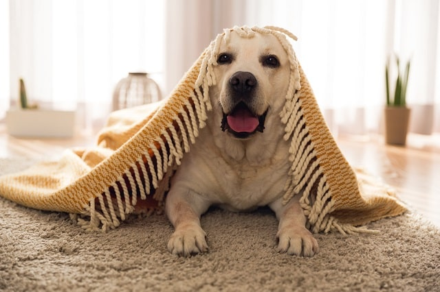 Yellow lab laying on rug under blanket