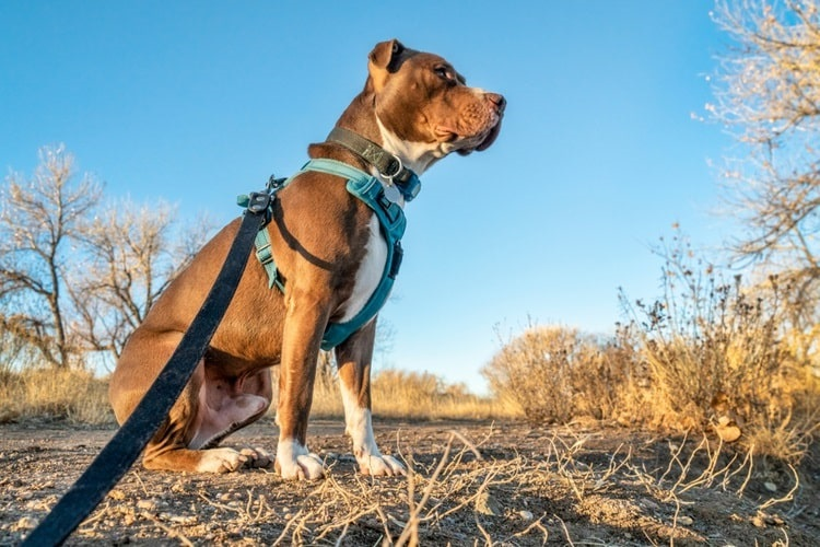 Dog wearing an escape proof dog harness and leash outdoors