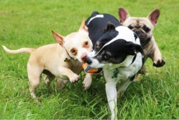 Three dogs playing with a ball in the grass