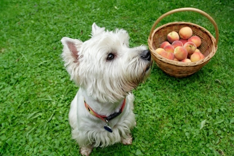 White dog sits near a basket of peaches in the grass