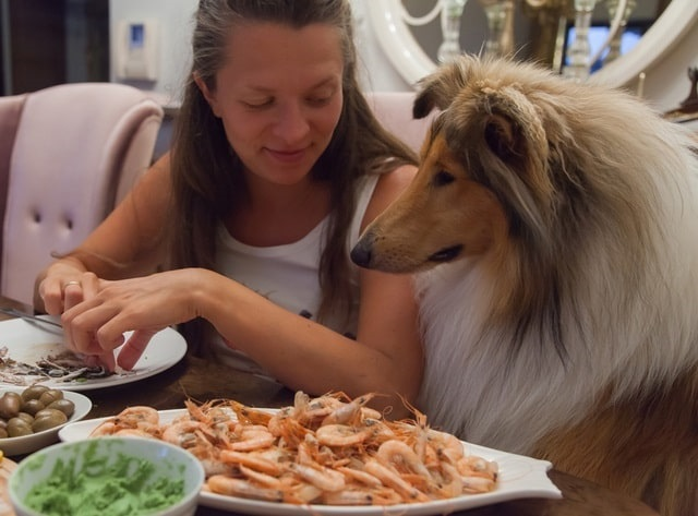 Collie watching owner eat shrimp