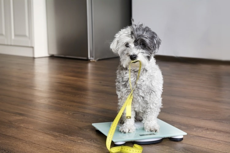 Dog holding measuring tape while standing on scale